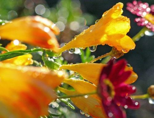 Las flores con rocío del atardecer